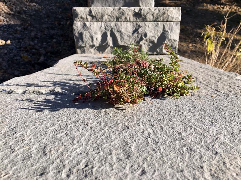 Trockenmauer – Bepflanzung